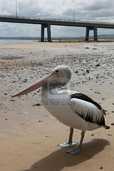 Phillip Islands - Pelican Feeding