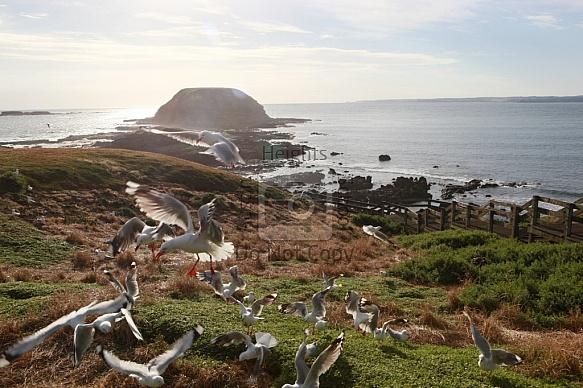 Phillip Islands - The Nobbies